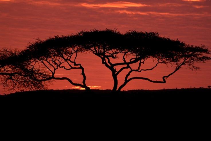 acacia-tree-603615_1280