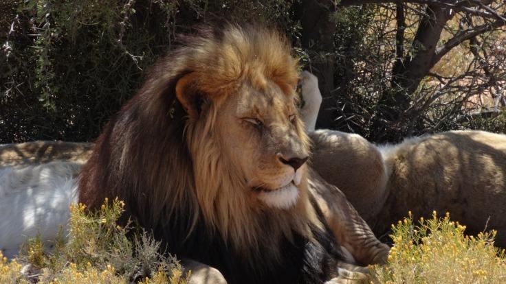 lion-1353970_1280