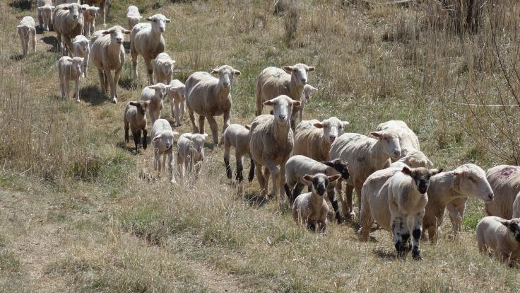 herd-1891568_1280