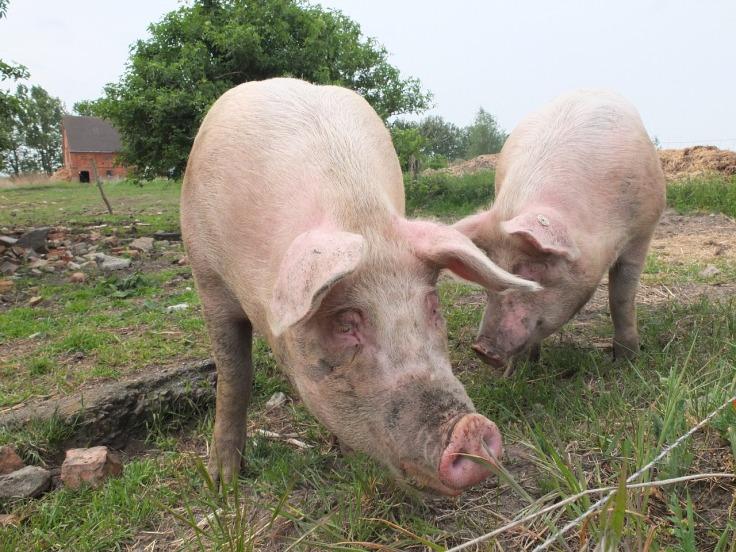 pigs-792737_1280