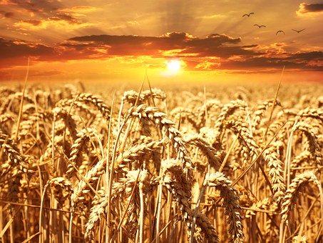 wheat-field-640960__340
